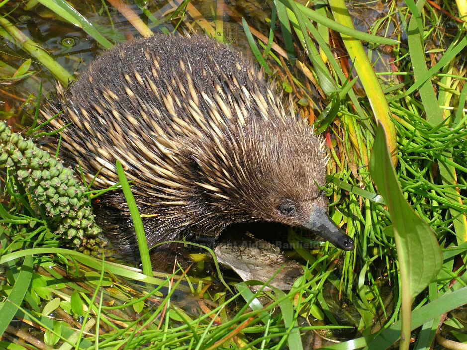 Echidna in wetland at Grampians Paradise